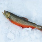 hugg av iesjavrirödingen i fiskereportaget röde baron i iesjavri på fisketidning