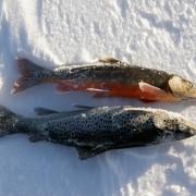 trögfiskat i fiskereportaget röde baron i iesjavri på fisketidning