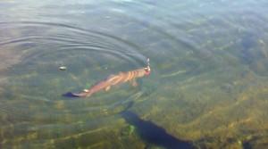 en öring i fiskereportage fantastiskt fiske i miekak i fisketidning