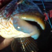 en större berggylta i fiskereportage jakten på reg-gyltan i fisketidningen fiskemagasinet.se