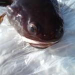 bottenmetar på stenig botten i fiskereportage pelle fiskar från land på fisketidning