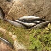 rensade fisken i fiskereportaget saltströmmen ett naturfenomen i fisketidning