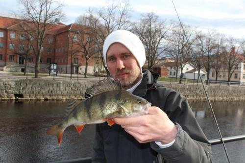 hungrig abborre på jakt efter gös i gavleån i fisketidningen