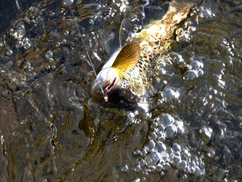 en vacker öring i lycka och vemod på fisketidningen