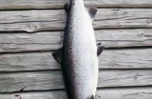 Jan Johansson fick denna lax på 16,9 kg på egenbunden tubfluga i Kalixälv.